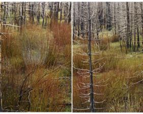 "Laura McPhee<br /> <em>Early Spring (Lodgepole and Willows), </em>2008<br /> Digital chromogenic print<br /> 30 x 40""    Edition of 5<br /> 40 x 50""    Edition of 5<br /> 50 x 60""    Edition of 5"