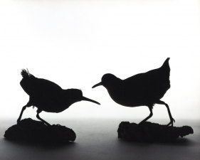 "Katherine Wolkoff<br /> <i>Virginia Rail</i>, (054), 2005<br /> Archival Pigment Print<br /> 11x14"" Edition of 7"