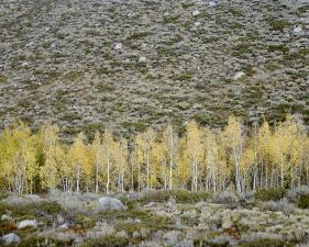 "Christopher Woodcock<br /> <em>Aspens, Convict Creek, Valentine Eastern Sierra Reserve, </em>2013<br /> Digital C-Prints<br /> 30 x 40""    Edition of 10<br /> 40 x 50""    Edition of 6"