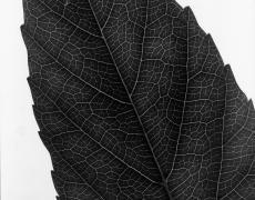 """Andreas Feininger<br /> <em>Leaf (Cissas), 1970</em><br /> vintage gelatin silver print<br /> 14 x 11""""<br /> signed and titled on verso"""