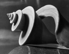"Andreas Feininger<br /> <em>Shell, Thatcheria, 1948</em><br /> vintage gelatin silver print<br /> 8 x 10""<br /> initialed on verso"