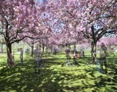 "Matthew Pillsbury<br /> <i>Hanami #27, Brooklyn Botanic Garden</i>, 2016(TV160027)<br /> Archival pigment print<br /> 20 x 24""  Edition of 10<br /> 30 x 40""  Edition of 6 (plus 2 APs)<br /> 50 x 60""  Edition of 2 (plus 1 AP)"