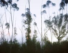 "Christopher Woodcock<br /> <em>Eucalyptus, Street Lights and Sea Fog, Elliott Chapparral Reserve, </em>2013<br /> Digital C-Prints<br /> 30 x 40""  Edition of 10<br /> 40 x 50""  Edition of 6<br />"